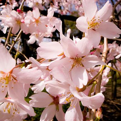 cherry_2009.jpg